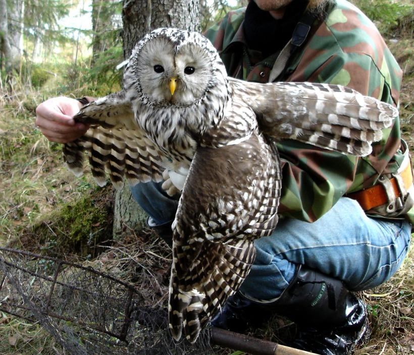 Pöllöstä tarkastetaan huolellisesti mm. sen siipien kunto ja yleinen terveydentila päällisin puolin.