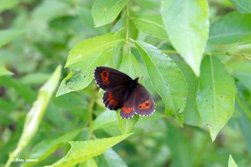 Metsänokiperhonen