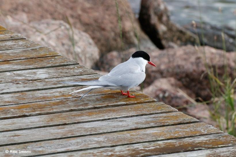 Myös lintujen seuraaminen ja kuunteleminen voi rentouttaa.