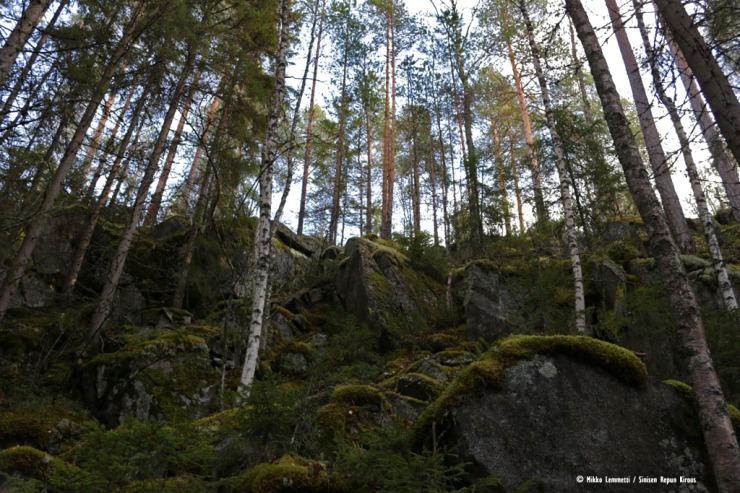 Kotivuoren alueen metsät ovat olleet tehokkaassa metsätalouskäytössä.