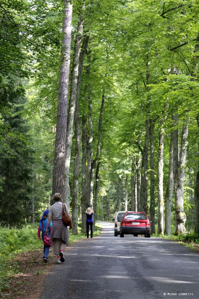 Lehmusten reunustamaa Aulangontietä pääsee helposti kävellenkin, mutta autoja on kapeahkolla tiellä muistettava varoa.