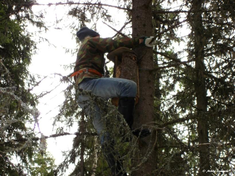 Pönttöjen laitolla voi helpottaa pöllöjen pesintää, mutta ensiksikin täytyy olla puita, joihin pöntöt laittaa.