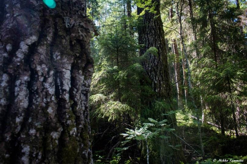 Tämä haavikko kuuluu kansallispuiston arvokkaimpiin osiin.