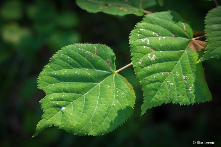 """""""Lehdet ruodillisia, kaljuja lukuun ottamatta ruskeita karvatupsuja alapinnan suonien hangoissa. Lapa herttamainen, pitkäsuippuinen, sahalaitainen, tyveltä epämukainen, alta sinivihreä."""" (Luontoportti)"""
