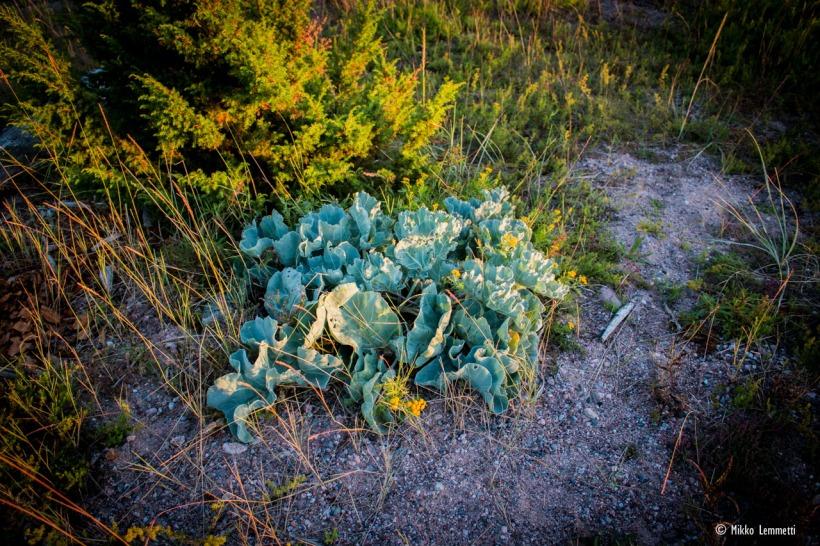 Harvinainen Crambe maritima on jännä kasvi.