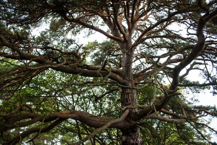 Pelkästään puun oksiston kattama pinta-ala on huomattava.