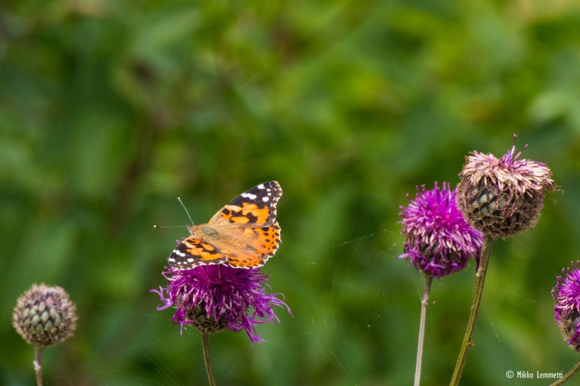 Kirkkaan violetit ohdakkeet ja hieno perhosen kuviointi olivat lumoava yhdistelmä.