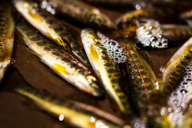 Kalankasvattajien jokasyksyinen savotta