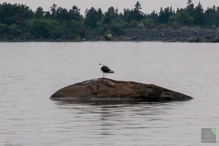 The Lonely Gull