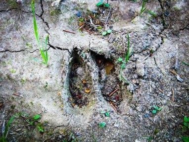 Peuran jälki savikossa. Deer tracks imprinted on clay.