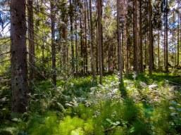 Karjalohjan valoisaa metsikköä. Light forest at Karjalohja.